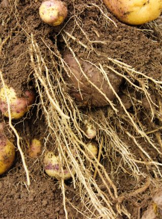 Photo of Potatoes from AES