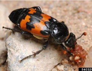 photo of beetle 1