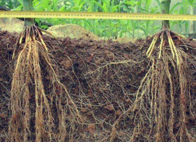 shusheng-corn-root-45-cm-forest