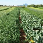 Research Center cover crops