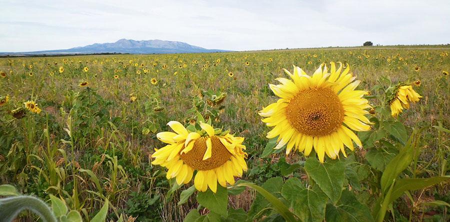 barry_sunflower