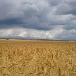winter wheat at an on farm trial