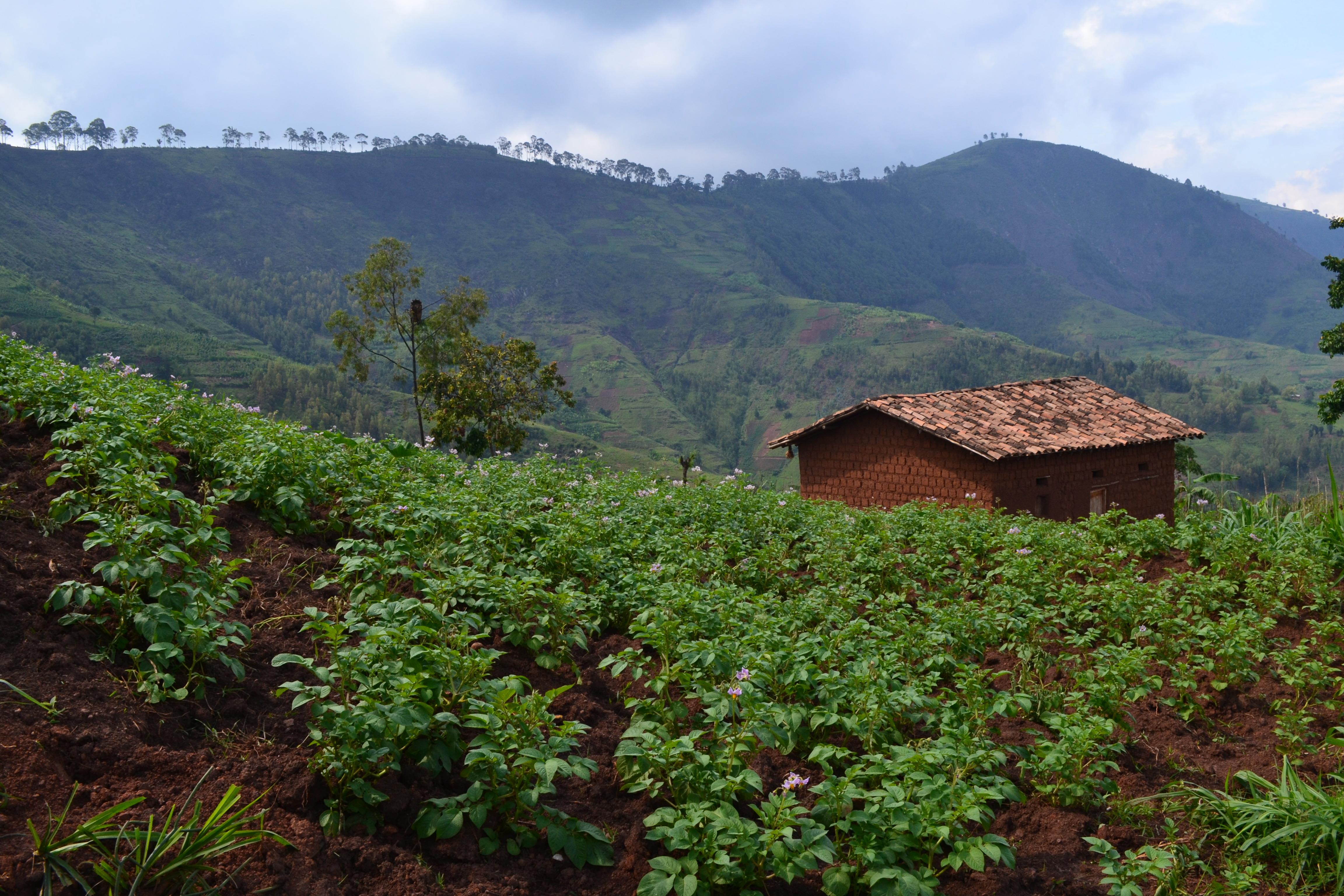 Potatoes in Rwanda