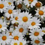 Argyranthemum_'White_Butterfly'_04-1140
