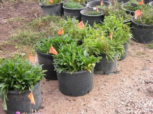 Photo of plants being relocated to Perennial Demonstration Garden