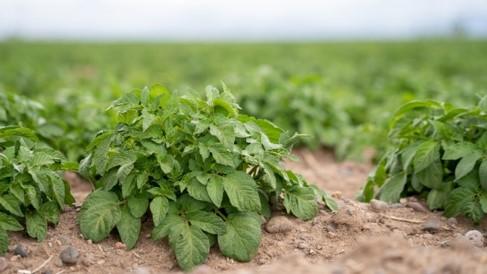 Potato_field_1