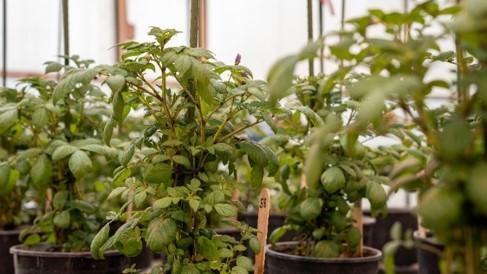 Potato_greenhouse