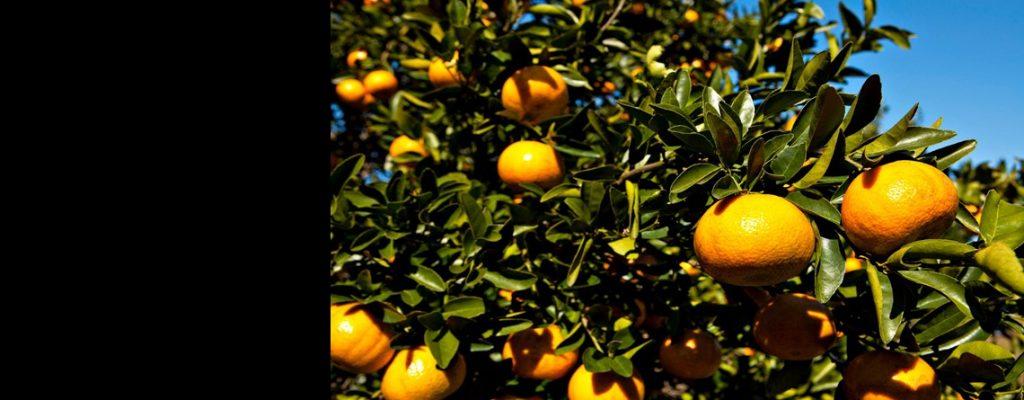 photo of an orange tree
