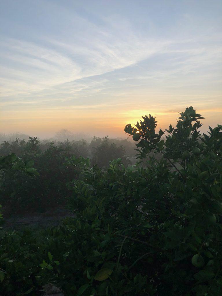 Sunrise in Florida over citrus groves