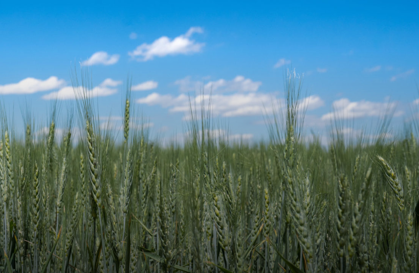 FARMERS REAP BENEFITS OF HERBICIDE-TOLERANT WHEAT DEVELOPED AT CSU